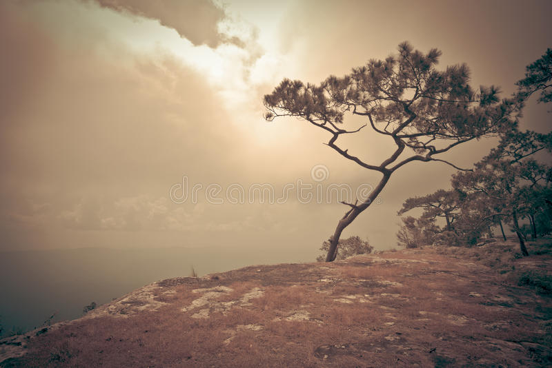 Pine cliff royalty free stock photo