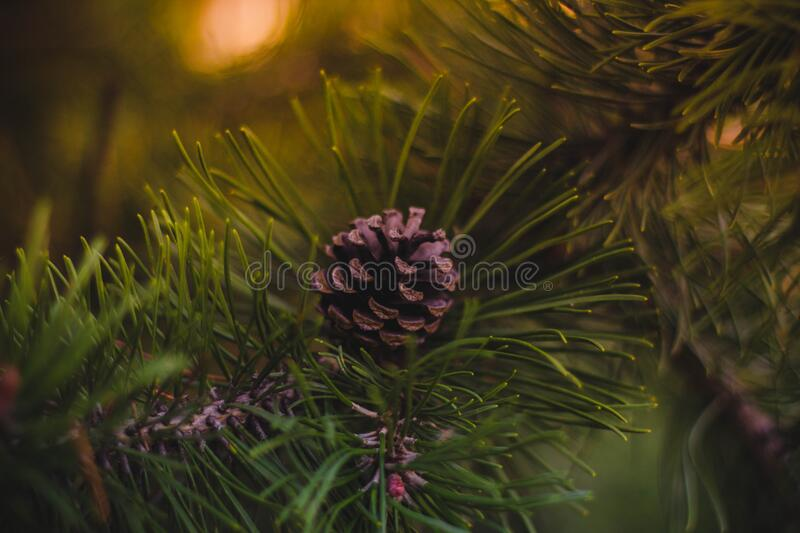 Pine close up royalty free stock photo