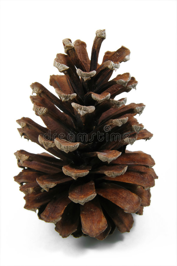 Free Pine Cone 1 Royalty Free Stock Images - 3855019