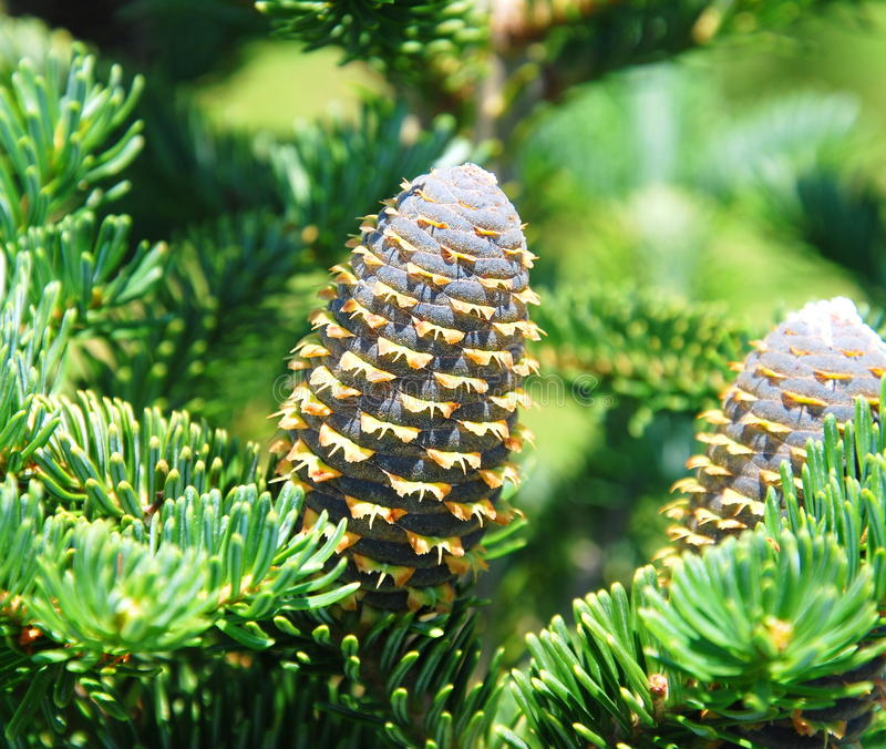 Download Pine-cone stock image. Image of needles, gardening, closeup - 23602739