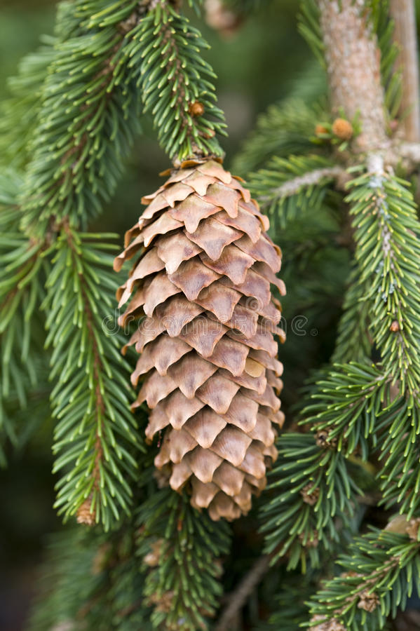 Download Pine cone stock image. Image of seed, pine, tree, living - 24183849