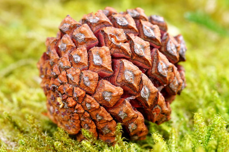 Download Pine cone stock image. Image of green, vegetation, texture - 24810969