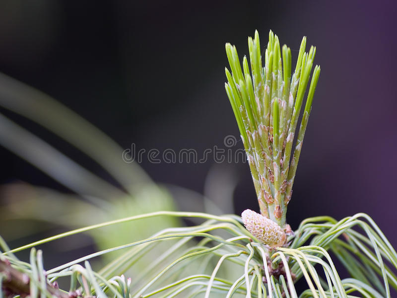Download Pine Cone stock image. Image of evergreen, conifer, budding - 25495127