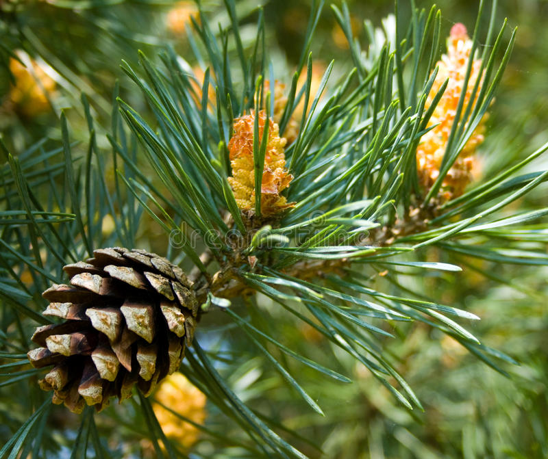 Download Pine Cone stock photo. Image of close, countryside, woodland - 28414072
