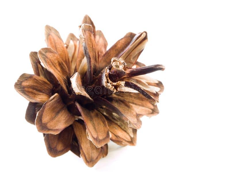 Download Pine cone stock photo. Image of pinus, pine, coniferous - 3066854