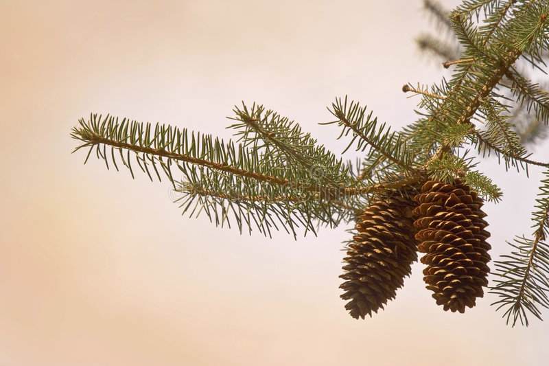 Download Pine cone stock photo. Image of cone, cheer, season, white - 4042268