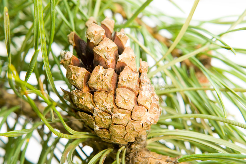Download Pine Cone Royalty Free Stock Images - Image: 7339969