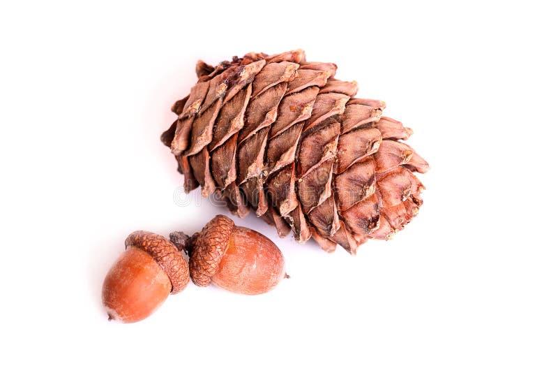 Pine cone and acorns stock photos
