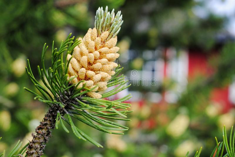 Pine cone on the background of a trd Scandinavian house royalty free stock photography