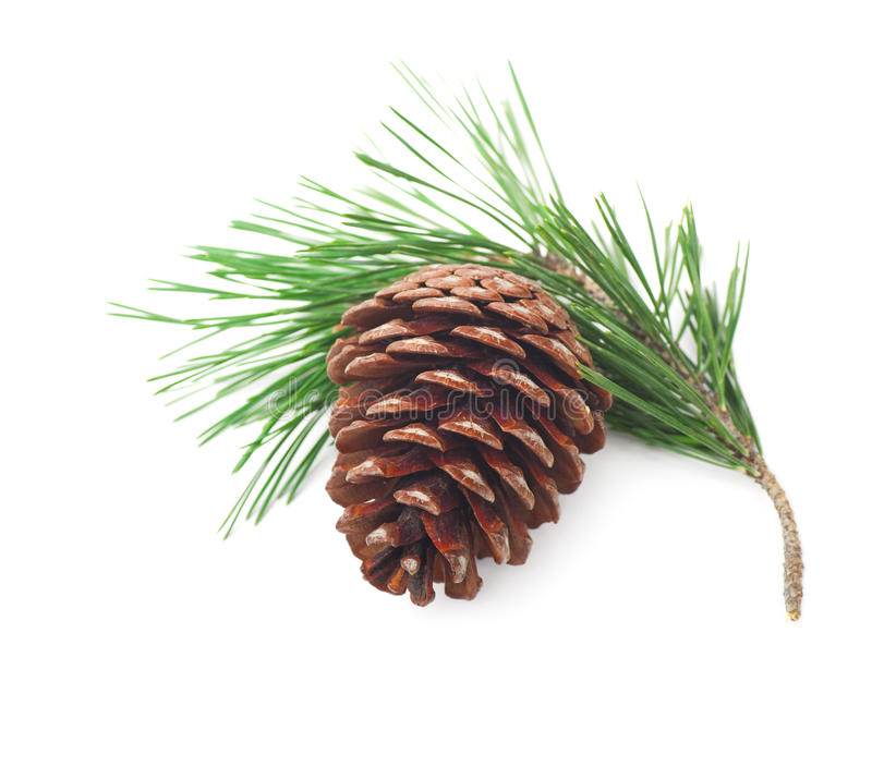 Pine Cone On A Branch Stock Photography