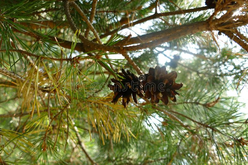 Pine cone on a branch forest. Natural composition. A photo royalty free stock photography