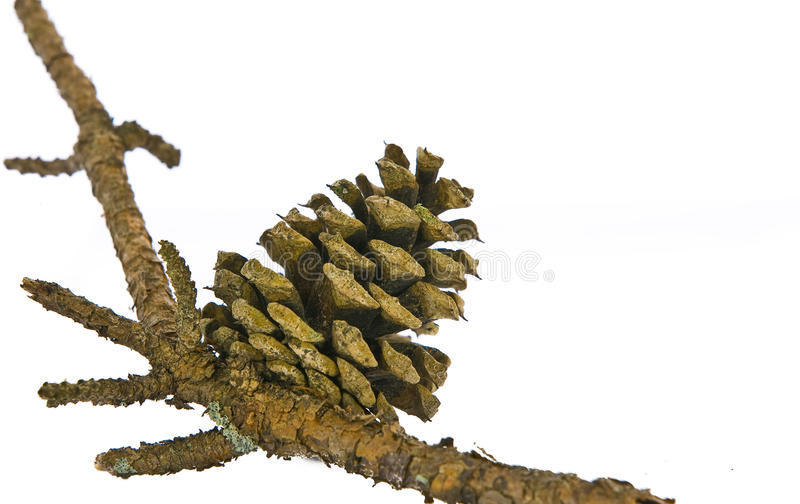 Download Pine Cone On Branch Isolated Stock Photo - Image: 16964644