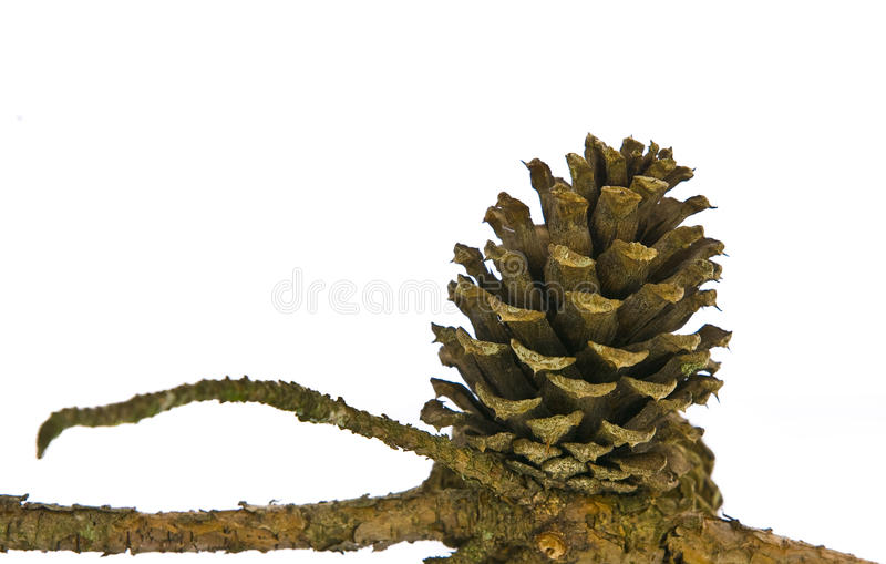 Pine cone on branch isolated on white royalty free stock photos