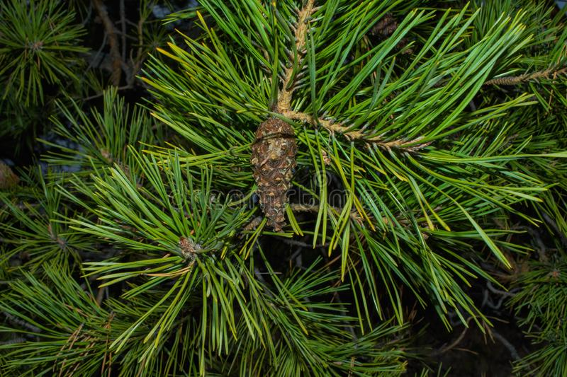 Pine cone on a branch. Young green closed pine cone on a pine tree in the wild nature in the forest. royalty free stock photography