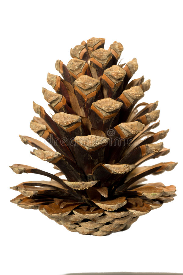 A pine cone. royalty free stock image