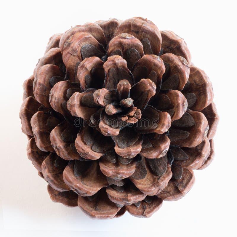 Pine cone stock photos