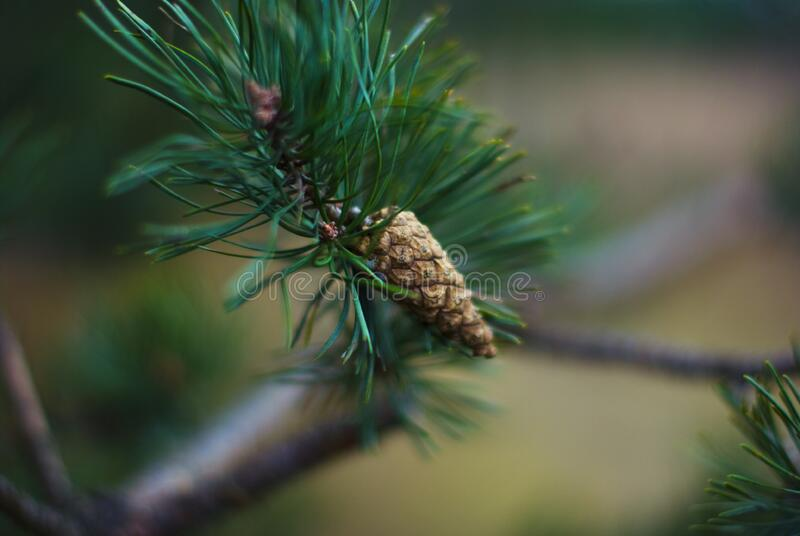 Pine cone on coniferous tree royalty free stock images