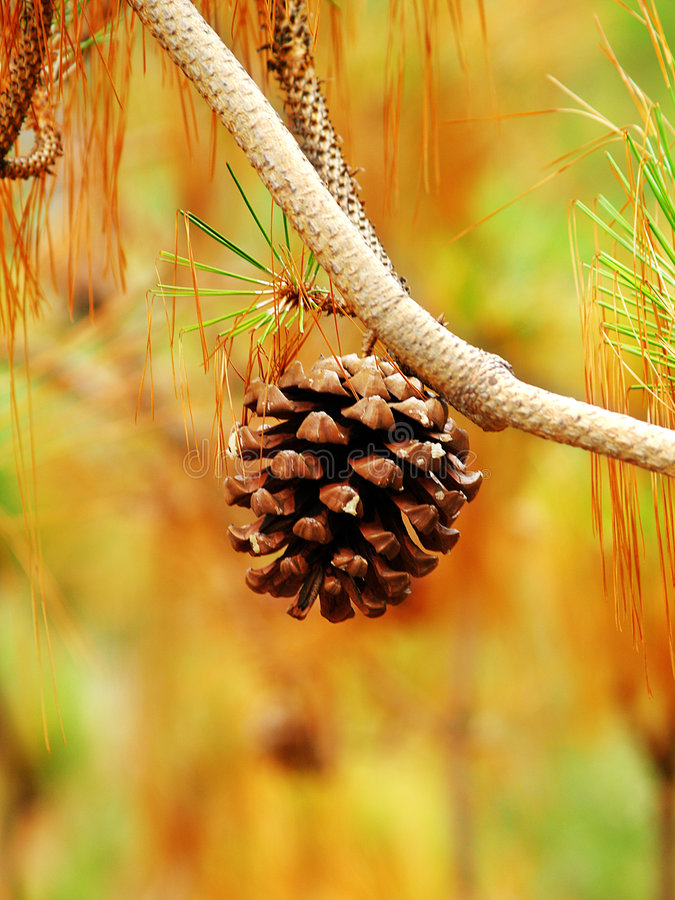 Download Pine Cone Hanging On Branch Stock Photo - Image: 5752772