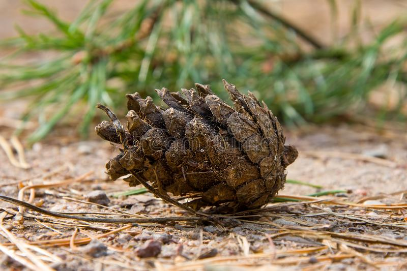 Pine cone lies on a forest path on the background of a green pine twig. 2 stock images