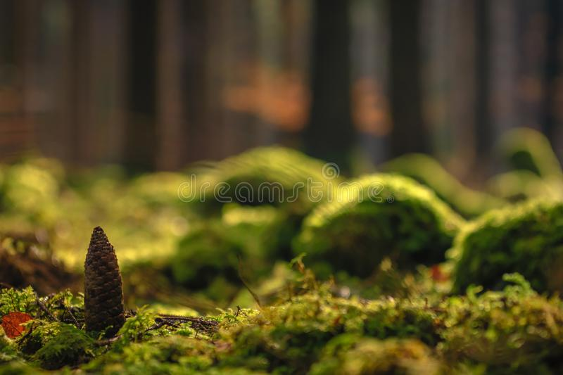 Pine cone on the mossy ground in a sunny forest - background stock image
