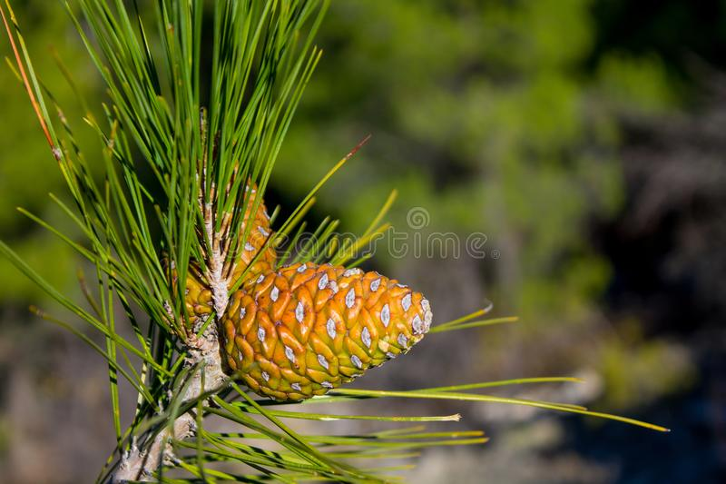 Pine cone on a pine tree in the forest stock photography