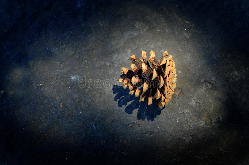 Pine Cone Pinecone in Sunlight Seeds for Growth and Coniferous Forest royalty free stock photos