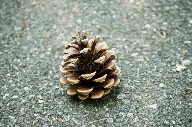 Pine cone on the road stock images