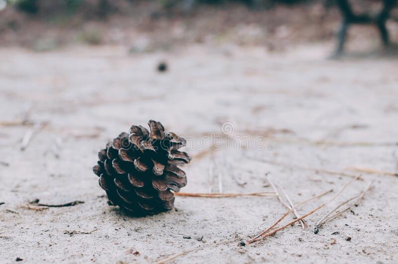 Pine cone in snow stock photo