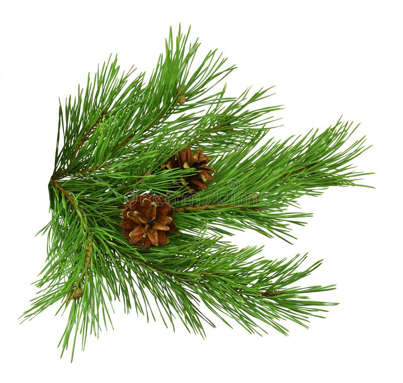 Nature Symbol of Christmas and New Year isolated on white background. Green pine, conifer tree. Pine branches with cones. Isolate. Pine cone, spruce branch stock photo
