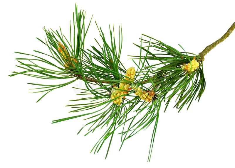 Nature Symbol of Christmas and New Year isolated on white background. Green pine, conifer tree. Pine branches with cones. Isolate. Pine cone, spruce branch royalty free stock photos