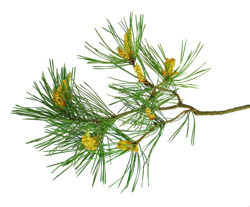Nature Symbol of Christmas and New Year isolated on white background. Green pine, conifer tree. Pine branches with cones. Isolate. Pine cone, spruce branch stock image