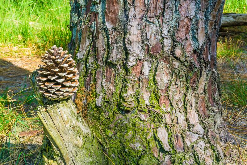 Pine cone on a stump with tree trunk forest background stock image