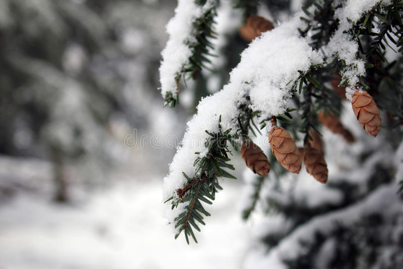 Pine cone on tree