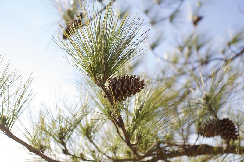 Pine cone on a tree. Pine cone and needles on the branch of a pine tree stock photos