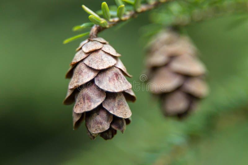 Pine cone on the tree stock image