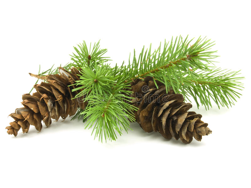 Download Pine Cones stock photo. Image of white, copyspace, needles - 10939414