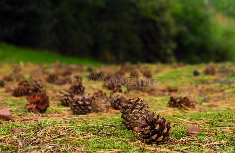 Download Pine Cones. Stock Photography - Image: 11117642