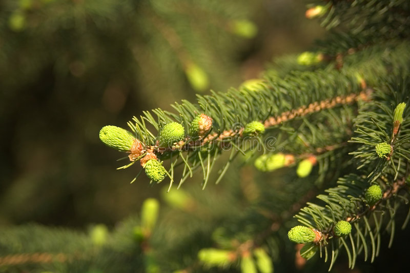 Download Pine Cones stock photo. Image of branch, needles, tree - 115326