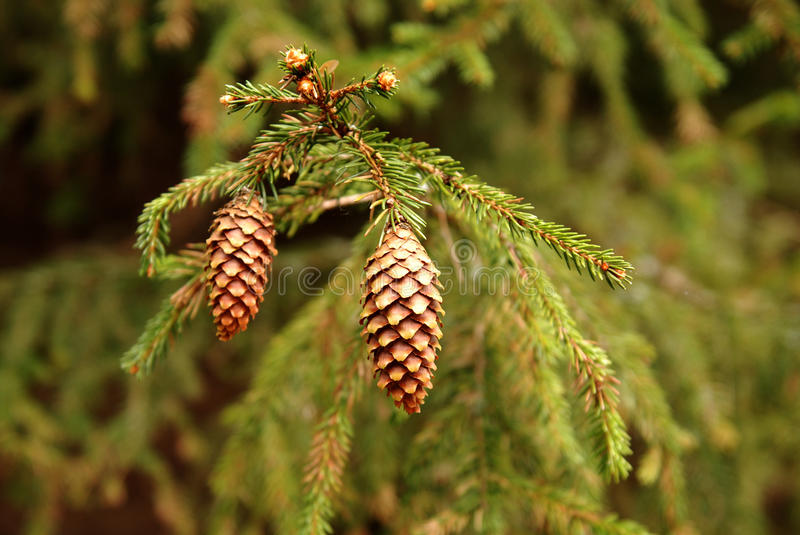 Download Pine cones stock image. Image of tree, christmas, close - 14419571