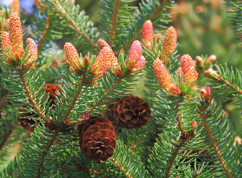 Download Pine Cones stock image. Image of cone, baby, season, growth - 24347417