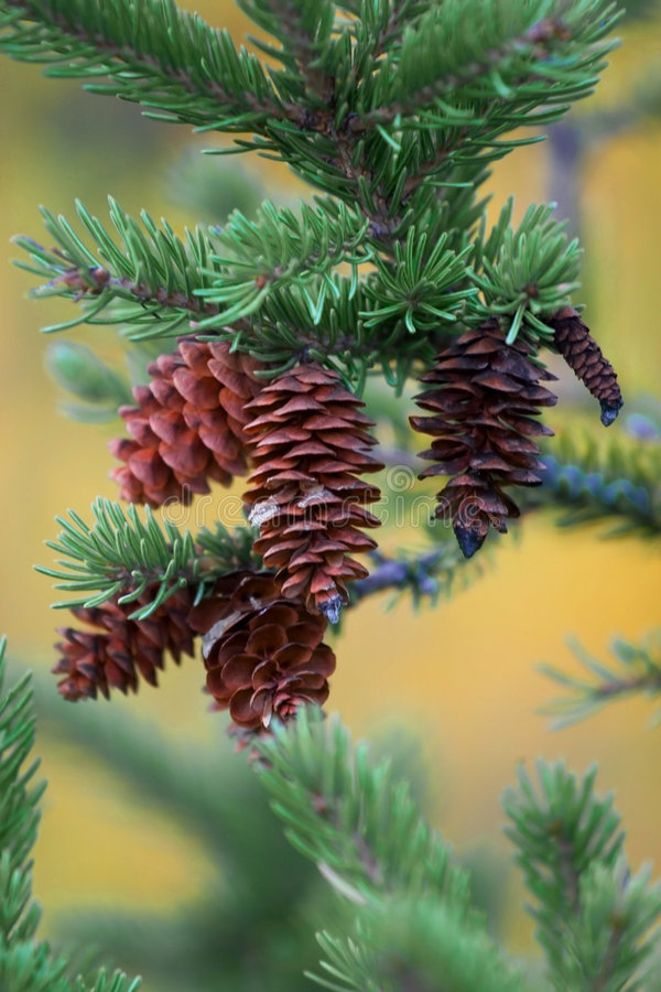Download Pine Cones stock photo. Image of christmas, spruce, green - 249392