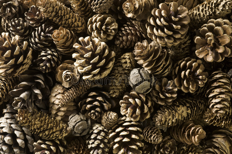 Pine cones stock photos