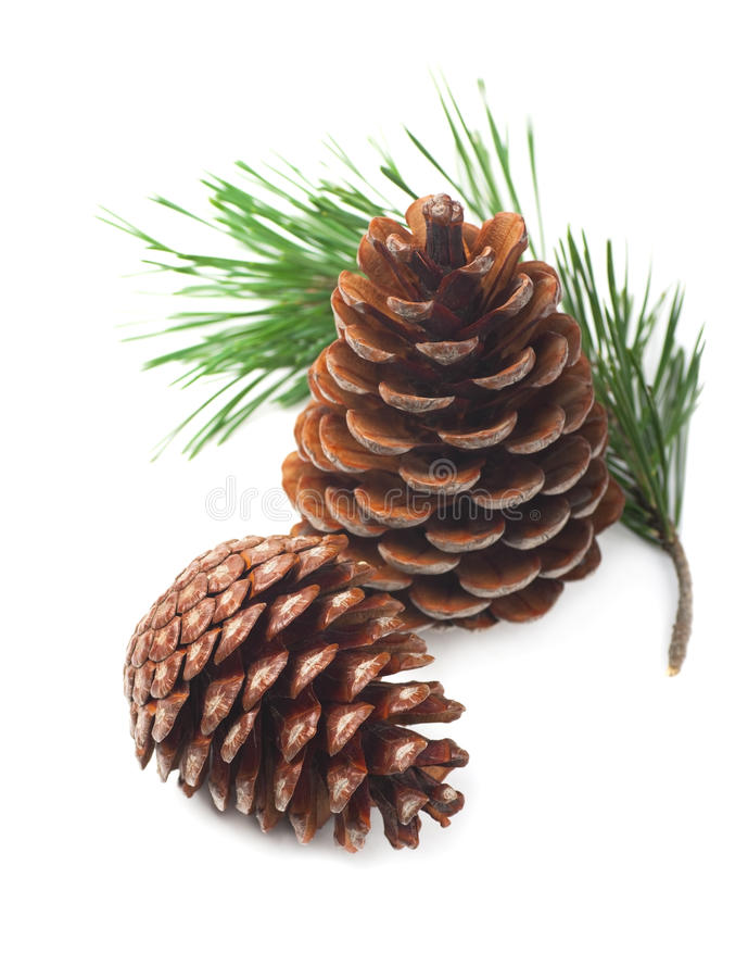 Download Pine Cones With Branch Stock Photo - Image: 26502000