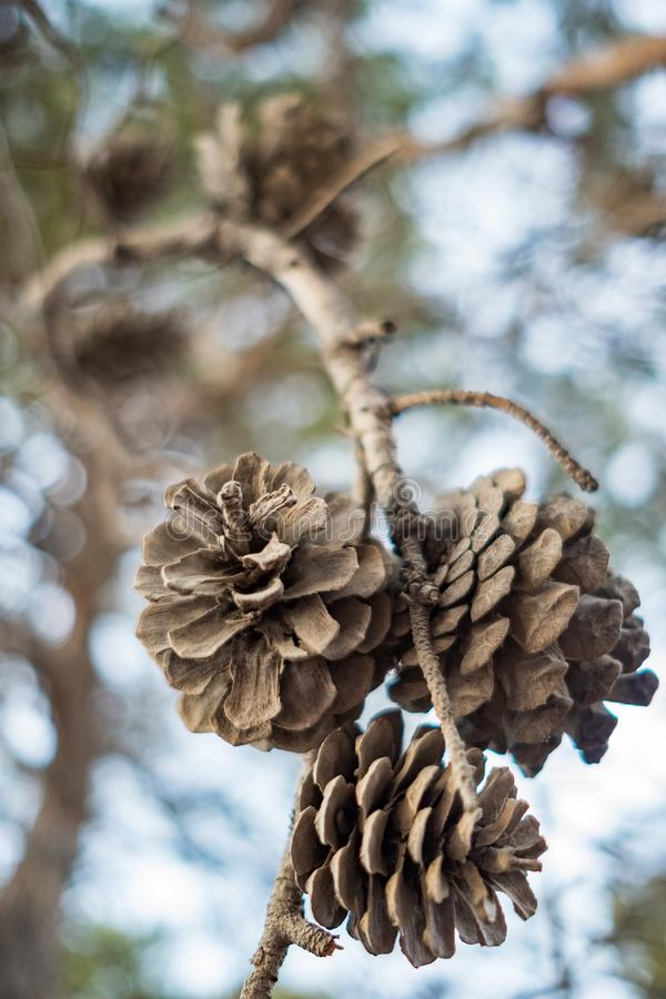 Pine cones at branch closeup royalty free stock photography