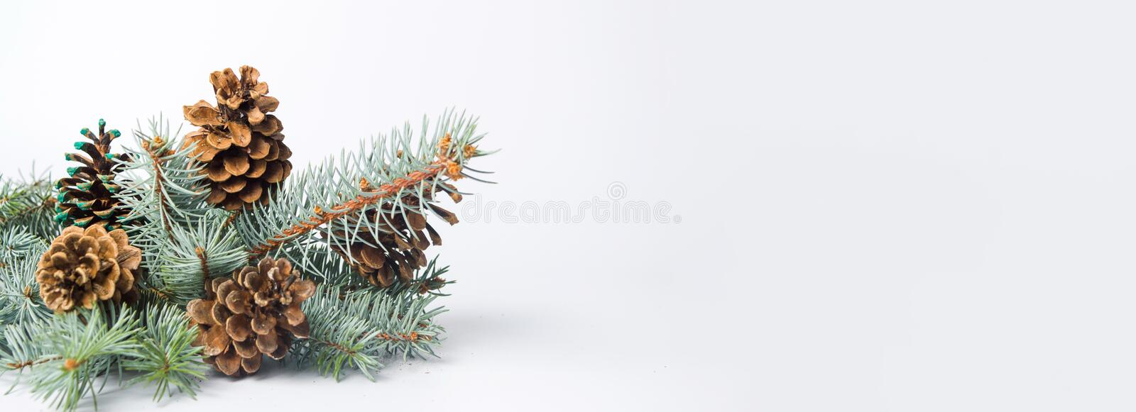 Pine cones on a branch royalty free stock image