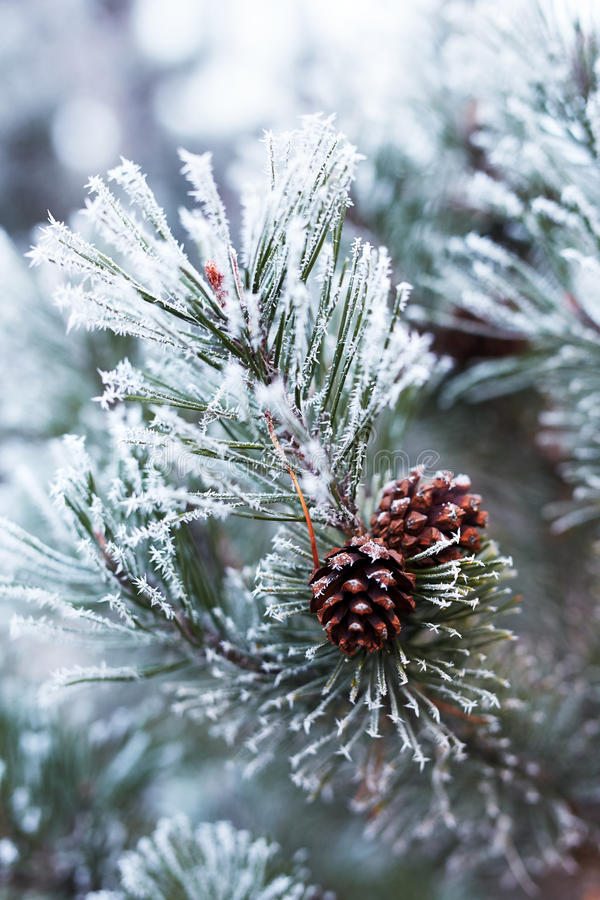 Pine cones and branches covered with hoarfrost stock photography