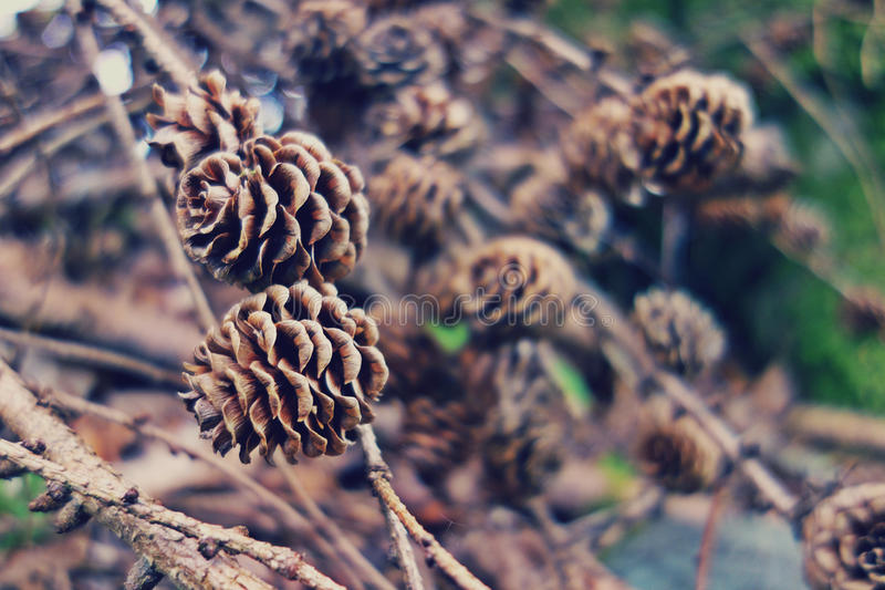 Pine Cones On Close Up Photography Free Public Domain Cc0 Image