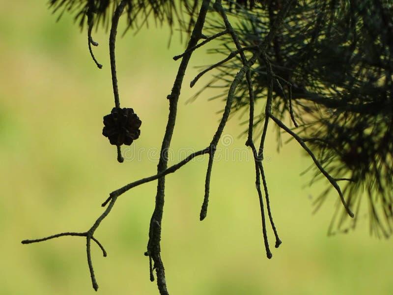 Pine cones on the edge of the path. Urwaldsteig, Kellerwald, Edersee royalty free stock photos