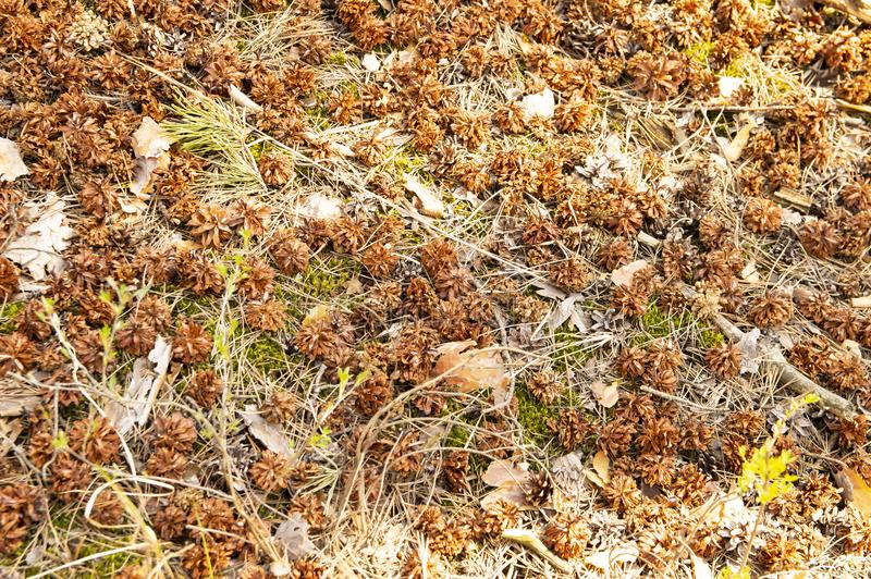 Pine cones in the forest on the ground stock photo