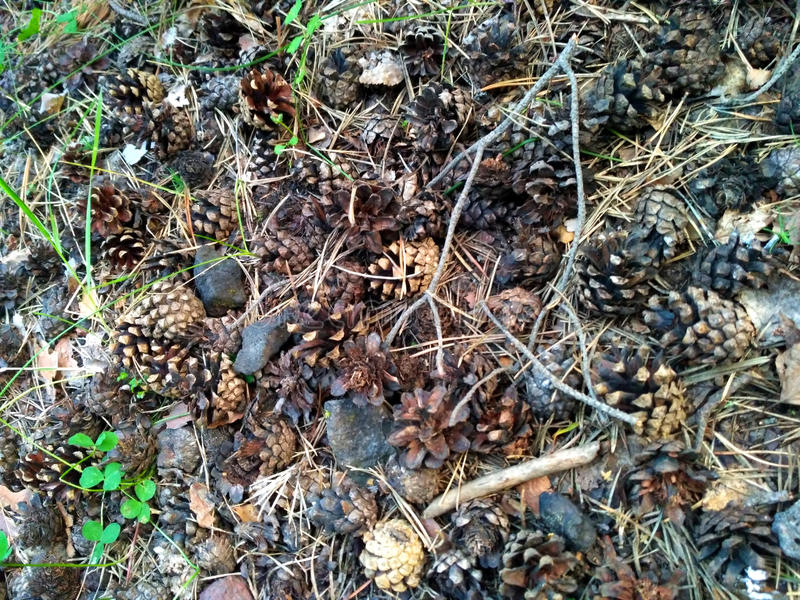 Pine cones on the ground royalty free stock images